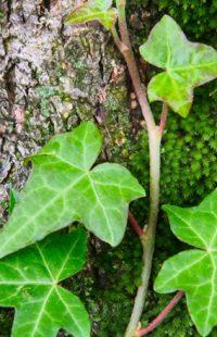 lierre Ivy